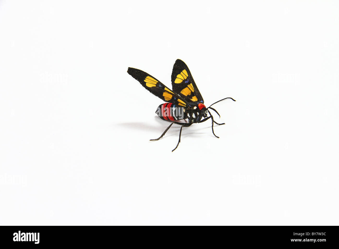 Euchromia polymena is a moth of the Arctiidae family. - Stock Image