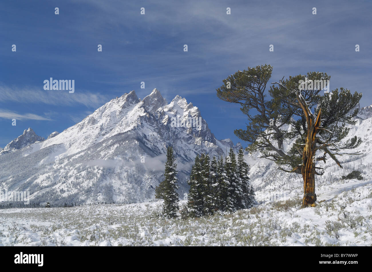 Old Patriarch Tree the morning after snowstorm in Grand Teton National Park. Stock Photo