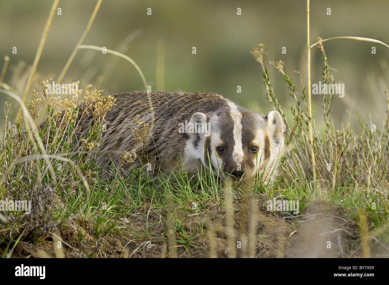 Badger hunting. Stock Photo