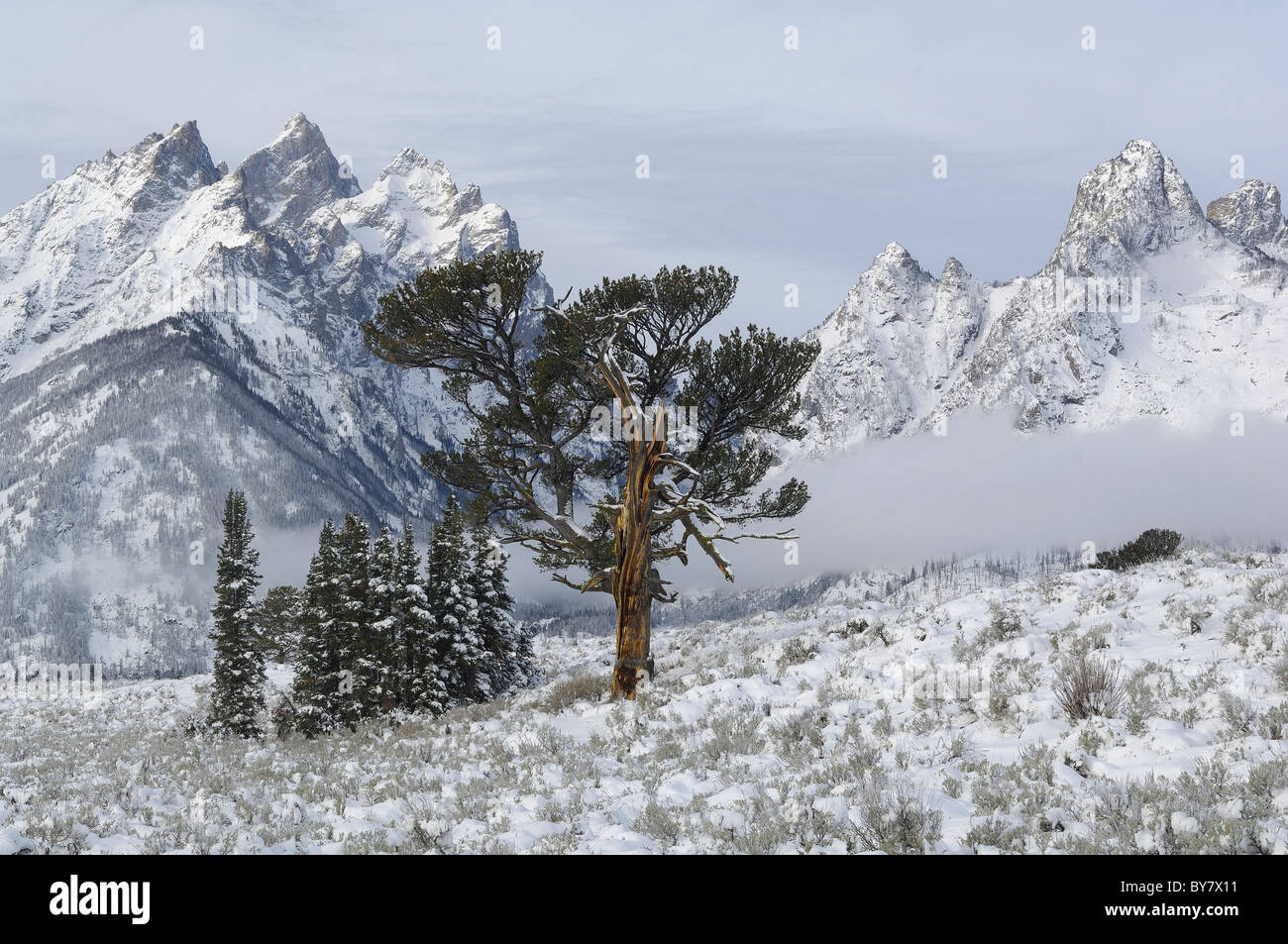 Old Patriarch Tree the morning after snowstorm in Grand Teton National Park. - Stock Image