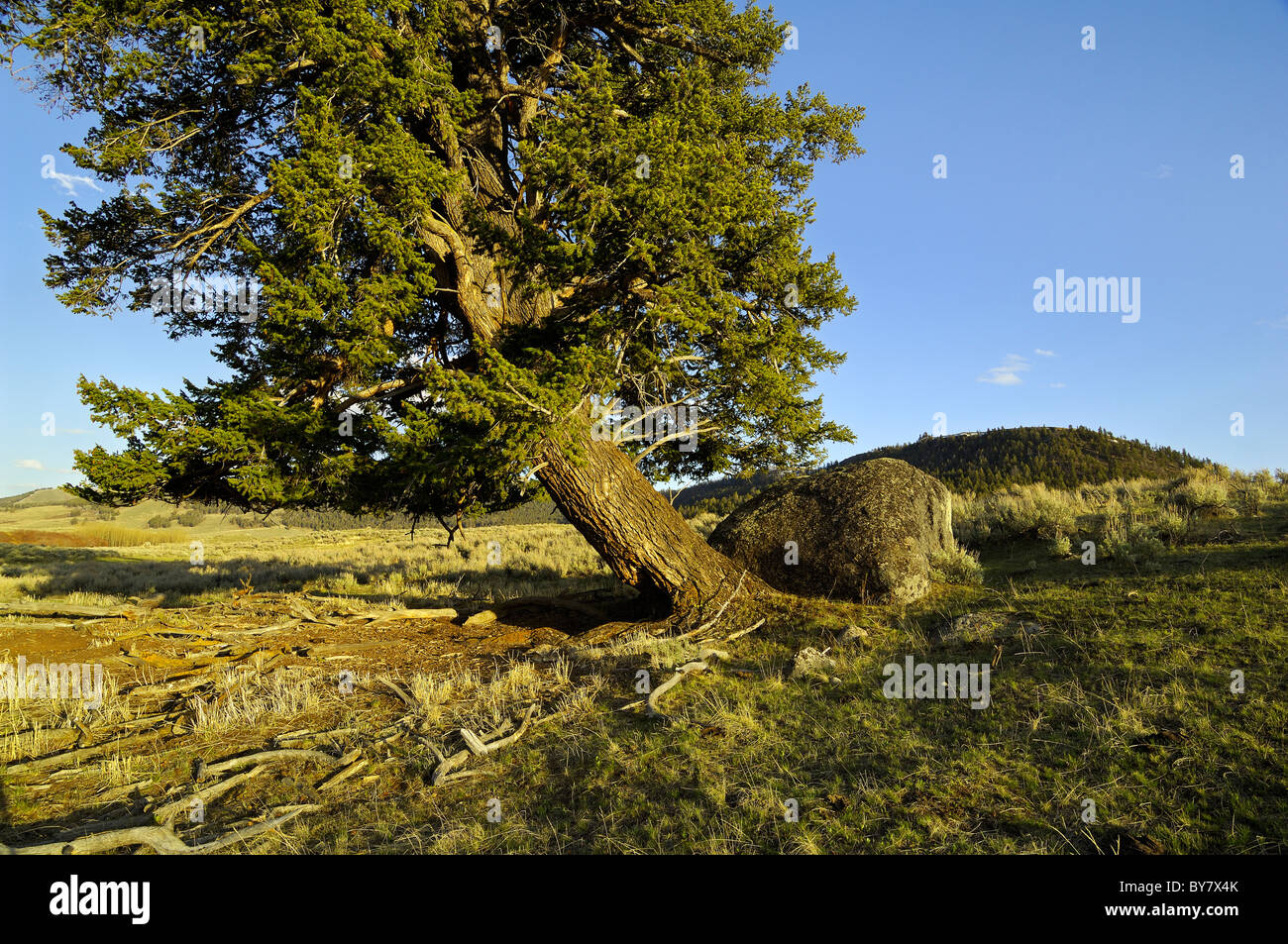 Spectacular old-growth Douglas Fir tree in Yellowstone National Park - Stock Image