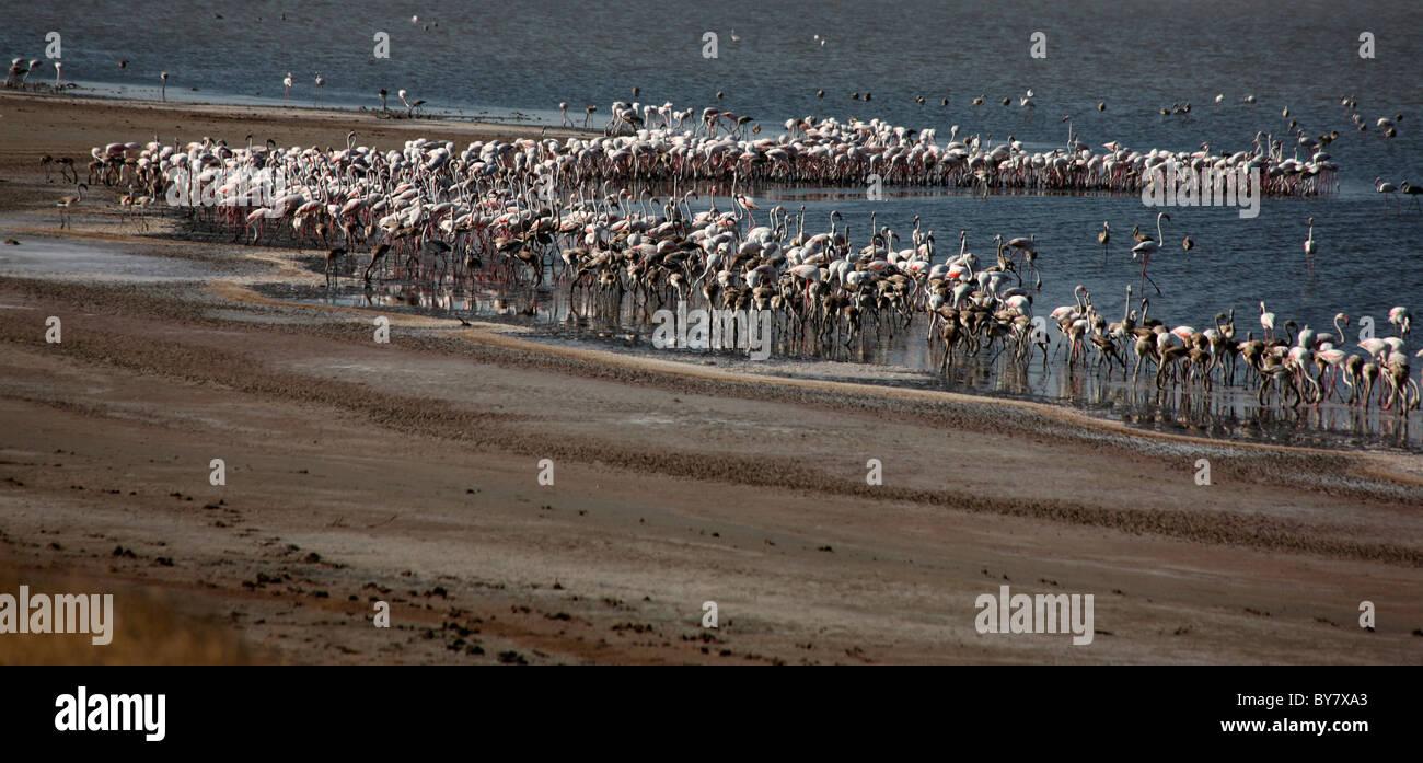 Flamingos in Rann of Kutch, Gujarat,india - Stock Image