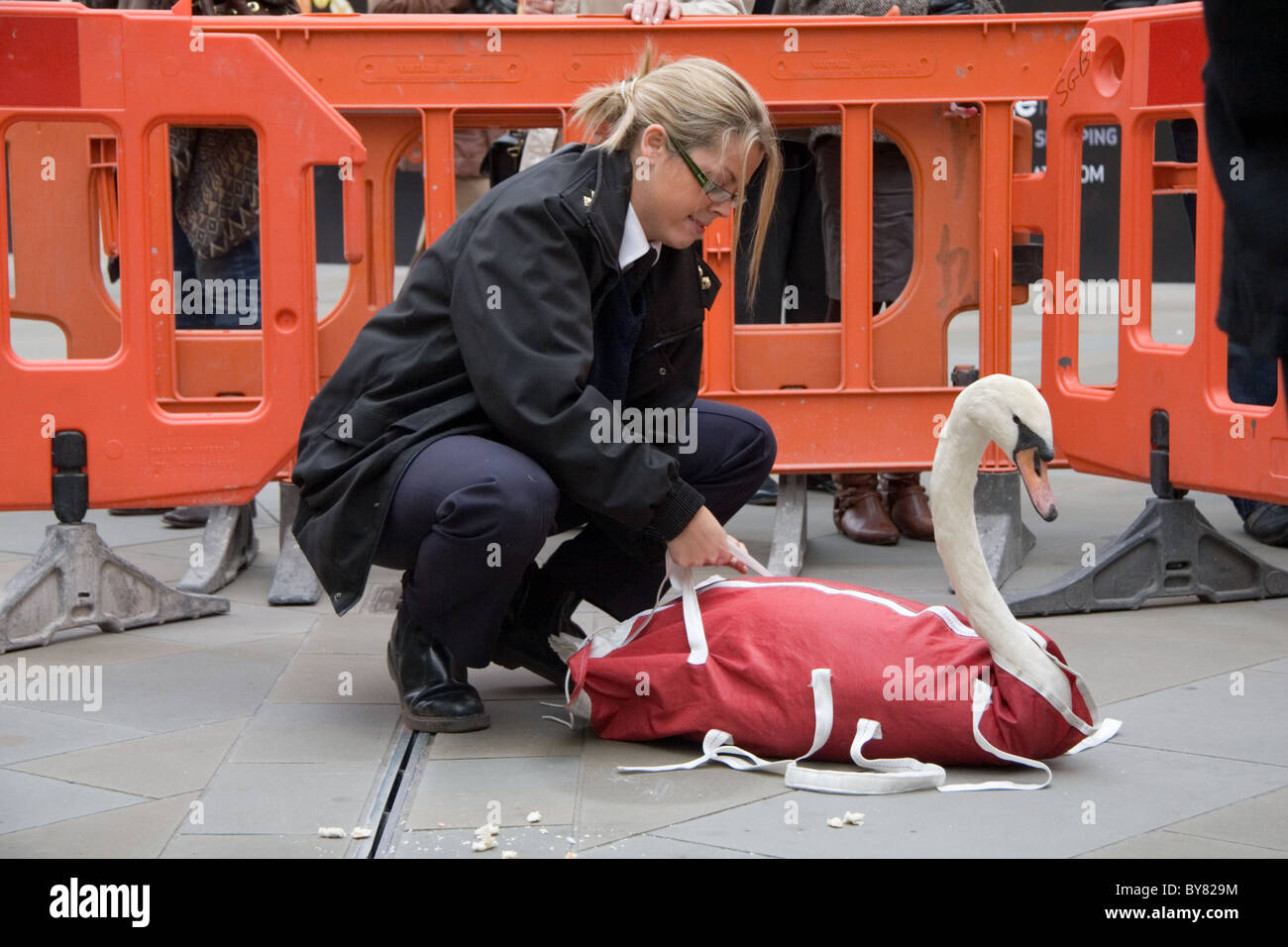 RSPCA animal protection officer rescuing a swan from Southmead shopping Centre, Bath, UK - Stock Image