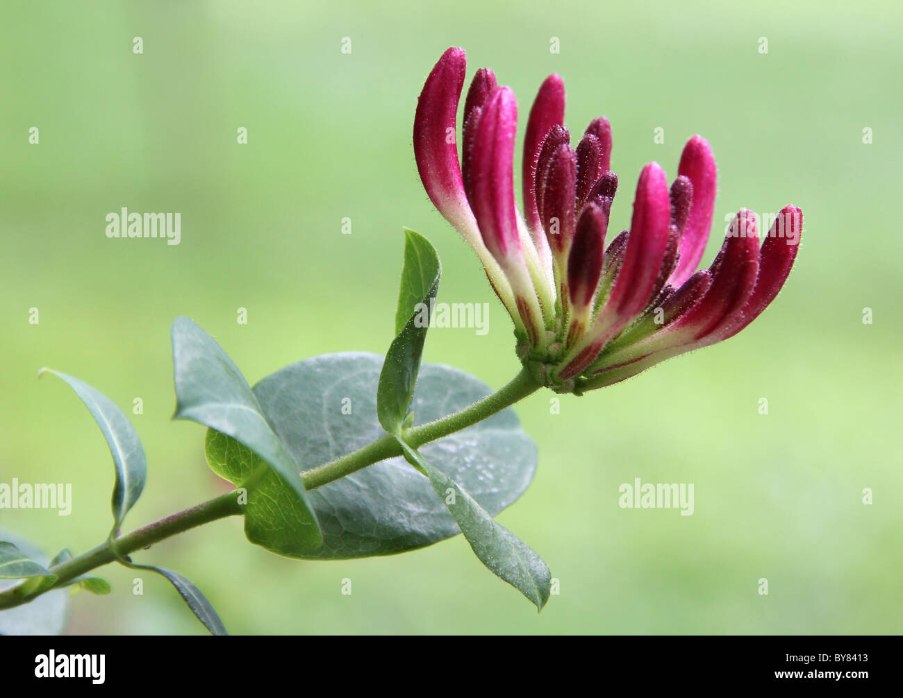 Image of a nearby honeysuckle bloom from. - Stock Image