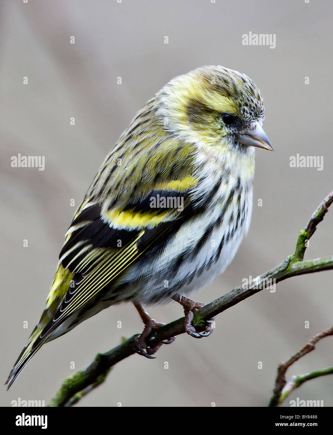 Female Siskin, Carduelis spinus, resting in a tree. - Stock Image