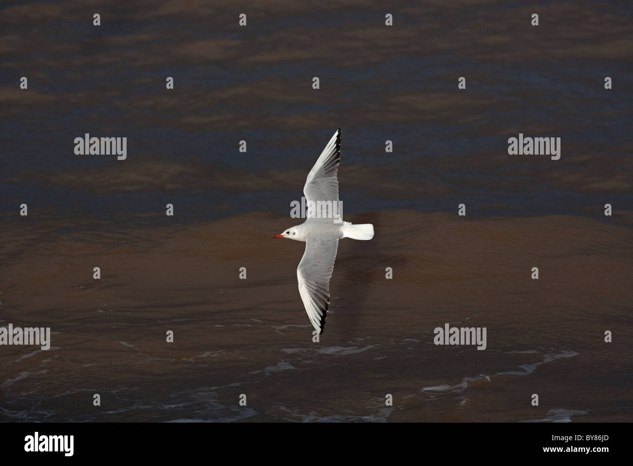 Black-headed gull Larus ridibundus in winter plumage Norfolk coast - Stock Image