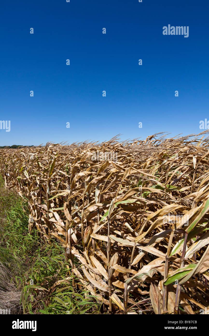field of ripe wheat, Plano, Kendall County, Illinois, USA - Stock Image