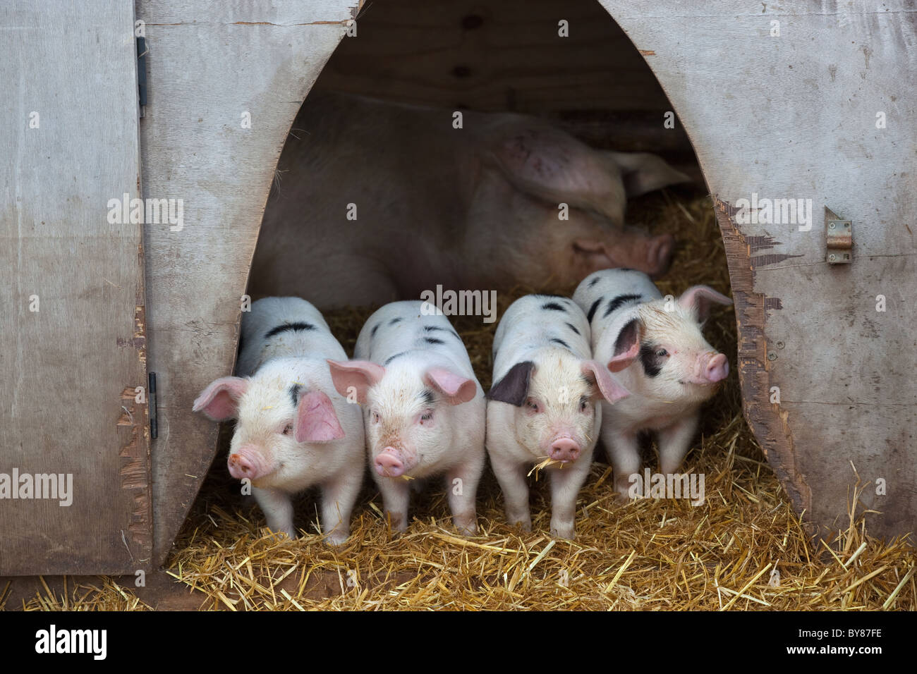 Gloucester Old-spot rare breed Piglets looking from sty - Stock Image