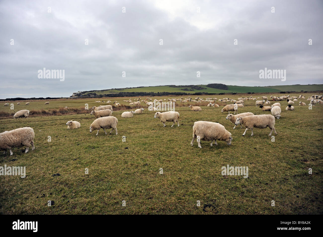 Sheep grazing at Cuckmere Haven, an area of flood plains in Sussex  where the river Cuckmere meets the English Channel Stock Photo