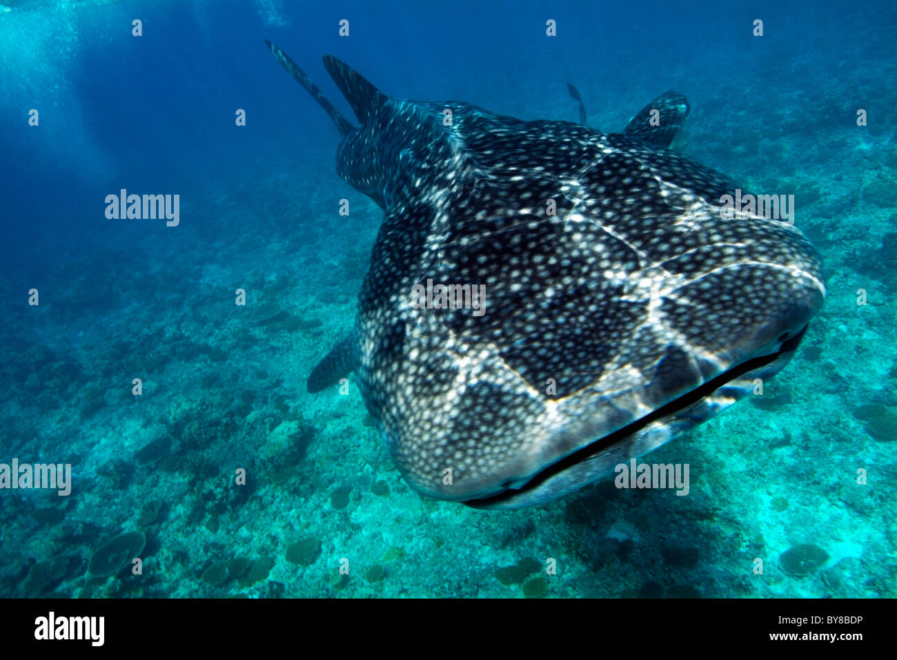 Spotted whale shark - rhincodon typus - Stock Image