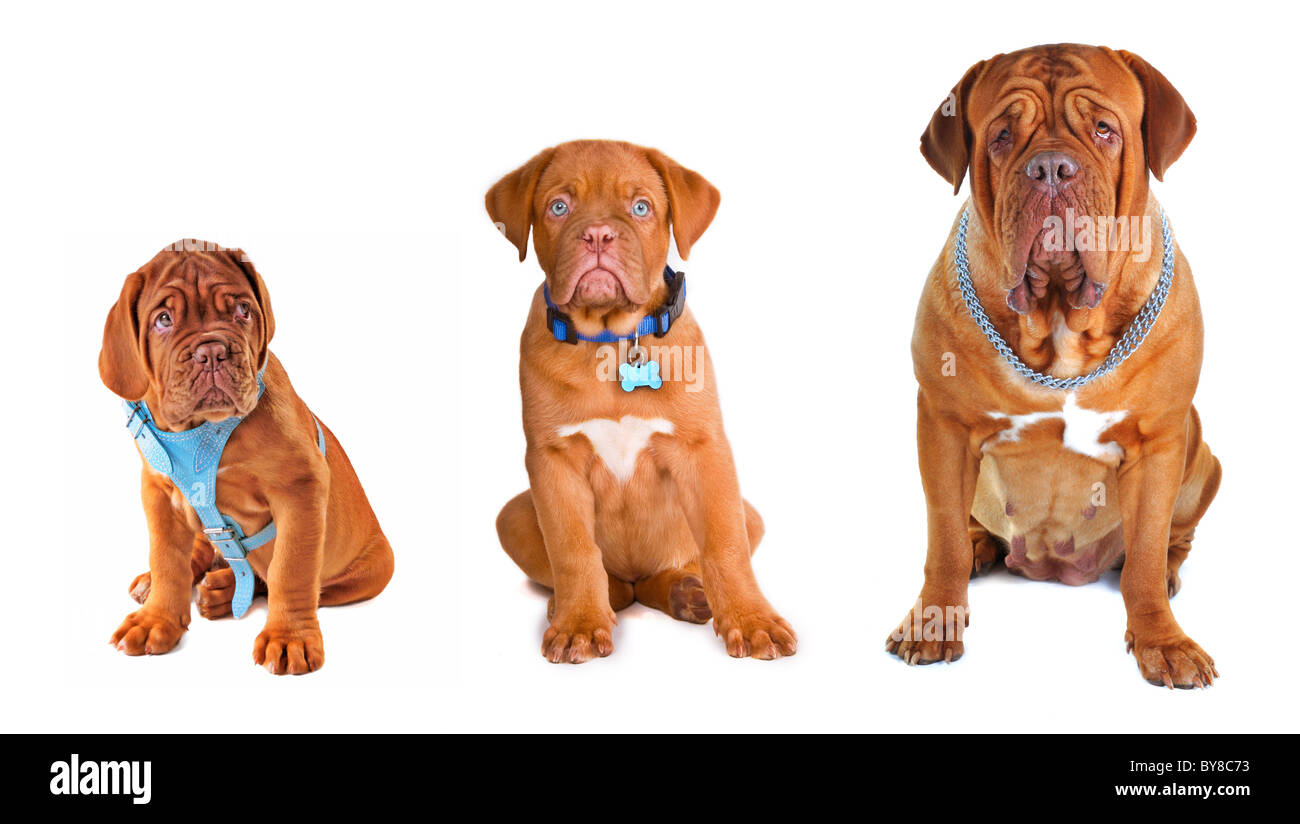 Evolution. Different dog ages and different equipment collection. - Stock Image