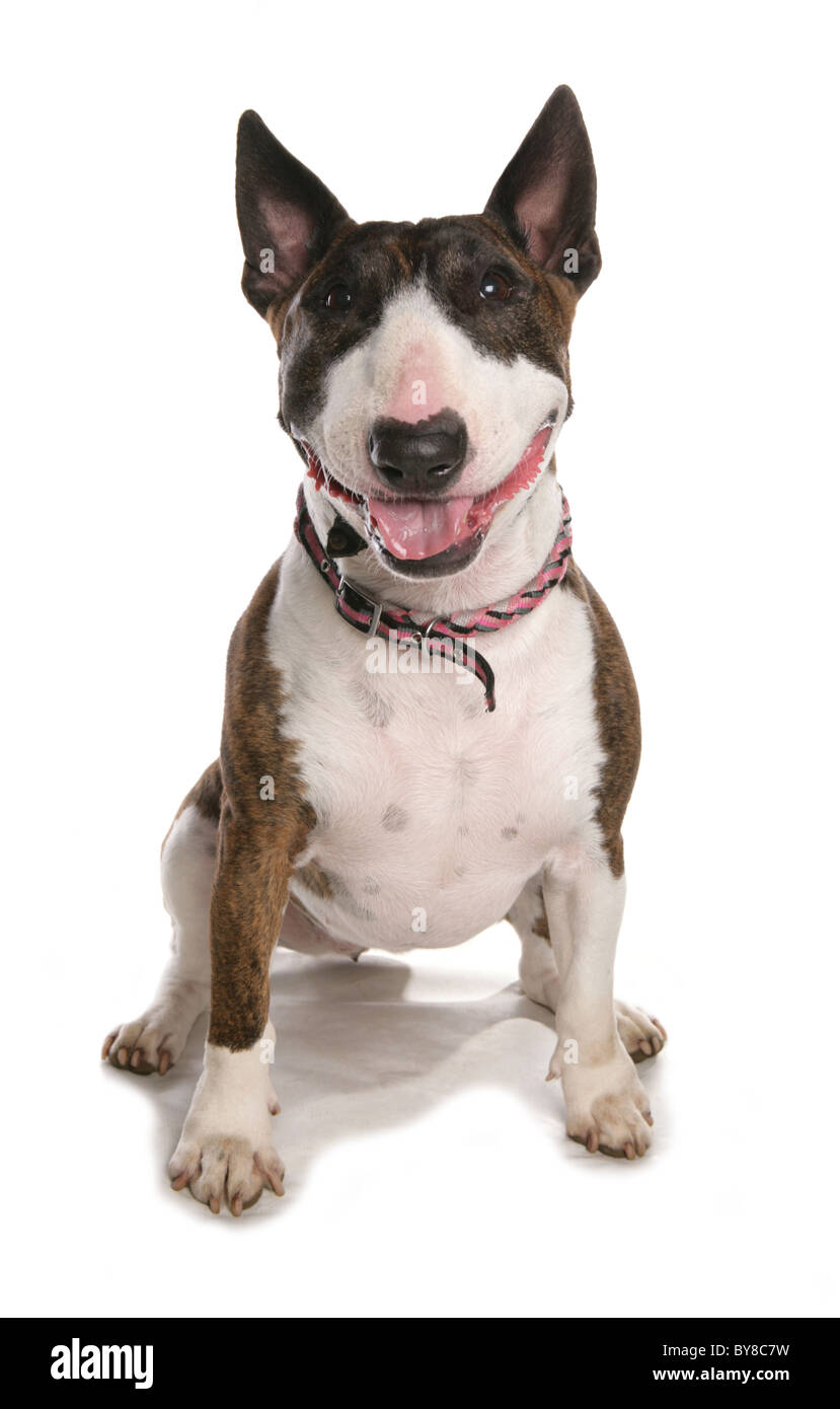English bull terrier Single adult female sitting in studio UK - Stock Image