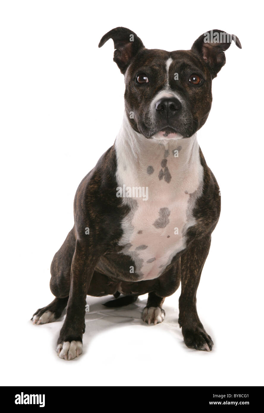 Staffordshire bull terrier Single adult sitting in studio UK - Stock Image