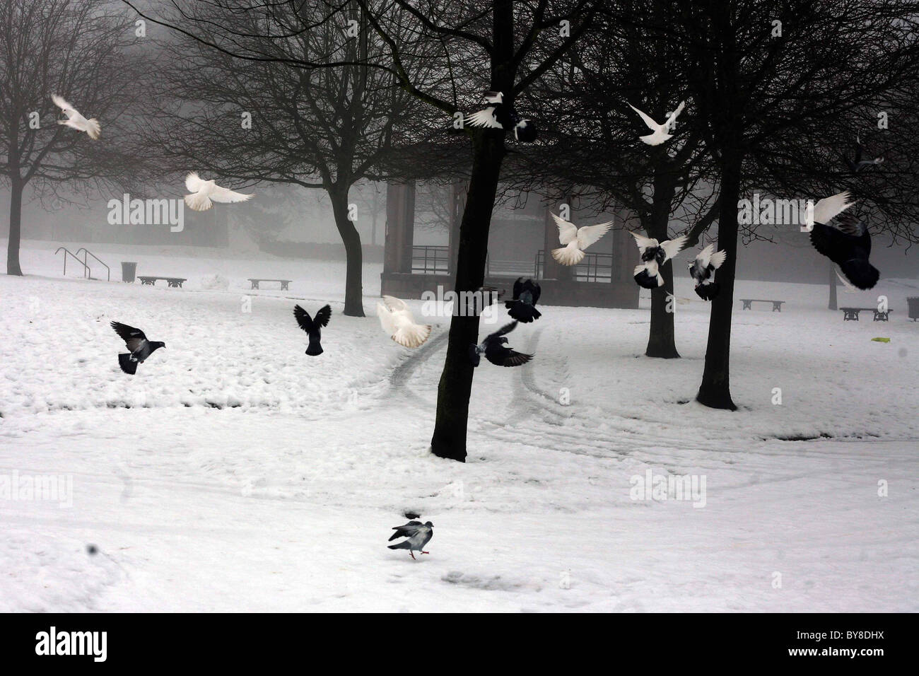 Snow and birds in South Park , Macclesfield - Stock Image