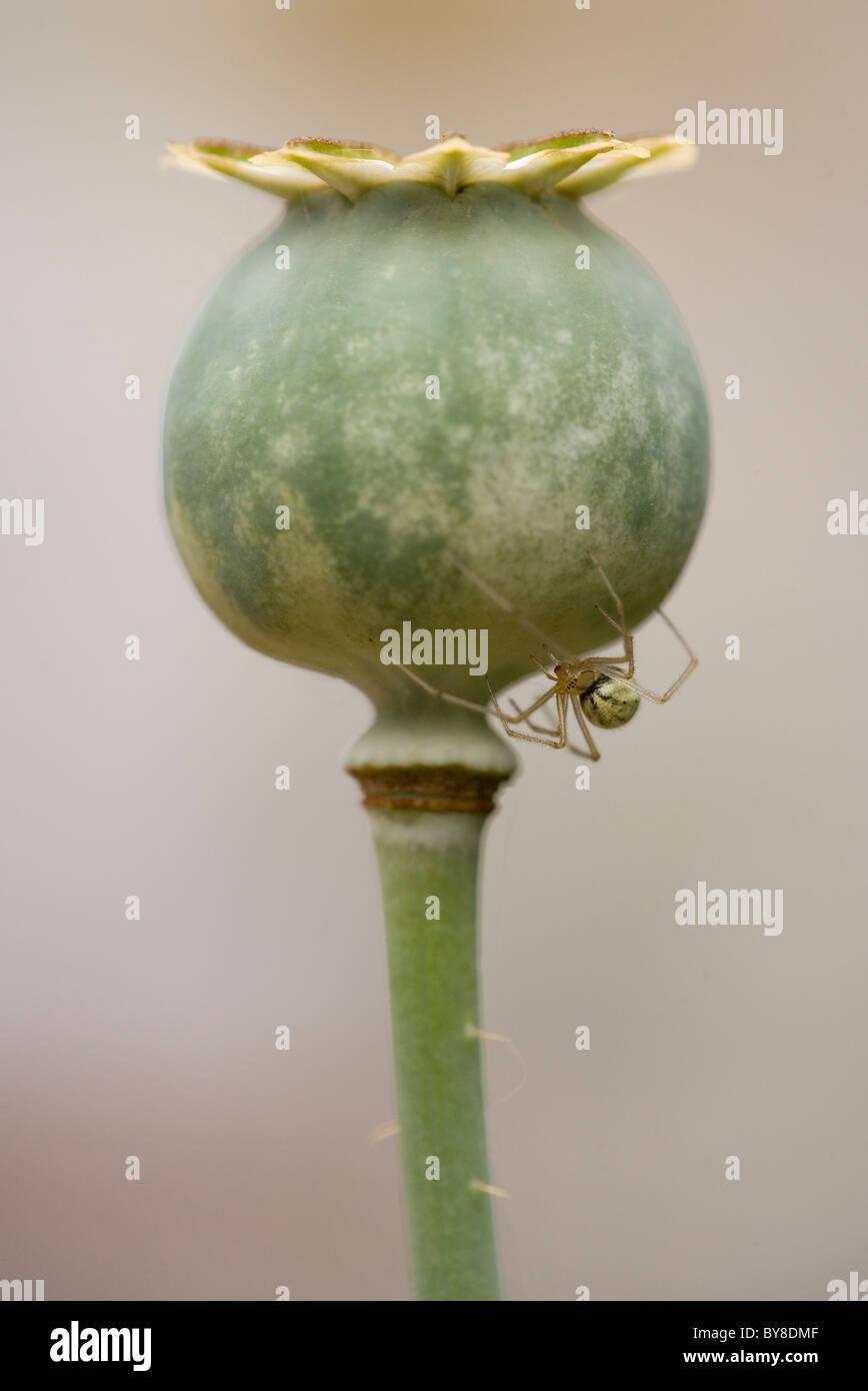 Candy stripe spider Enoplognatha ovata Single adult resting on poppy head UK - Stock Image