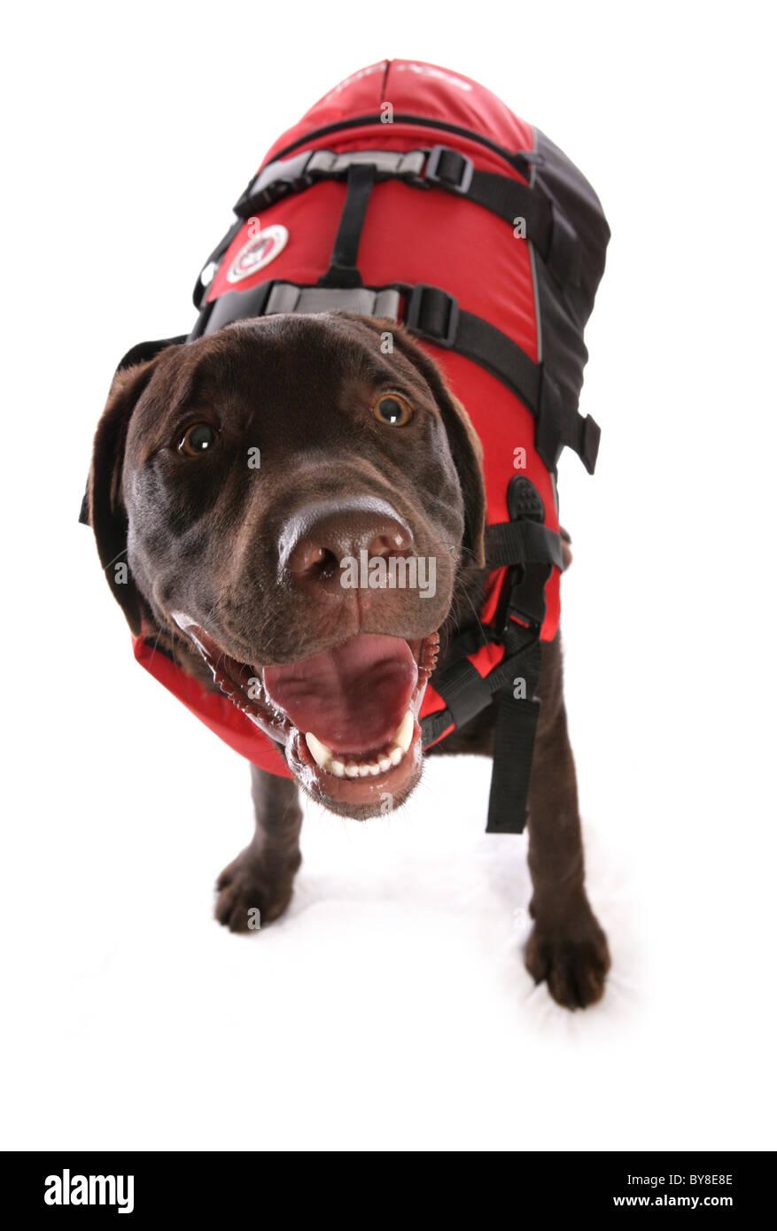 Labrador Retriever Single puppy wearing life jacket Studio, UK - Stock Image