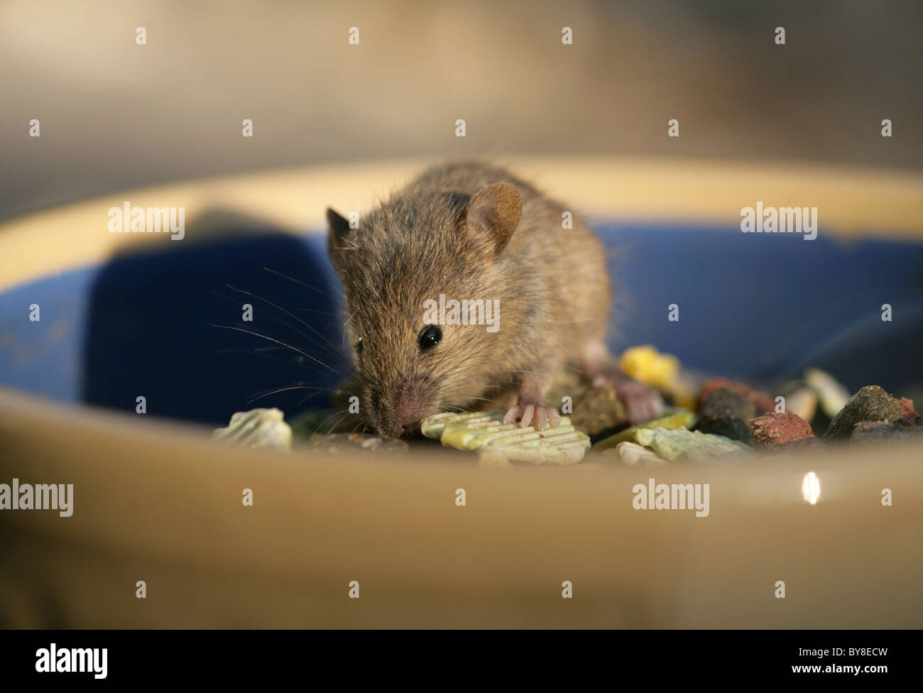 House Mouse Mus musculus Single adult eating pet rabbit food UK - Stock Image