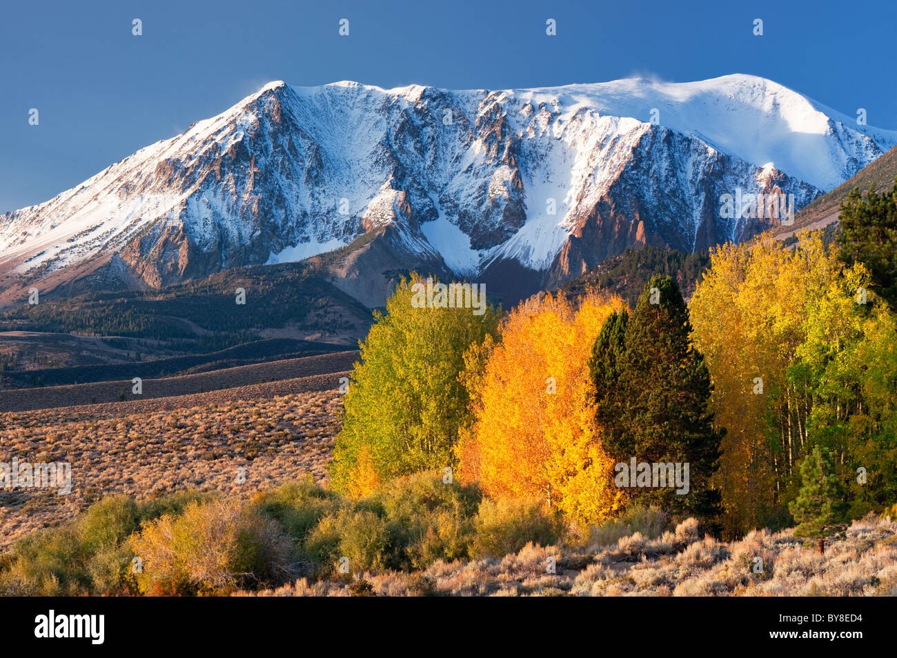 Aspen trees with fall color. Eastern Sierra Nevada Mountains. California - Stock Image