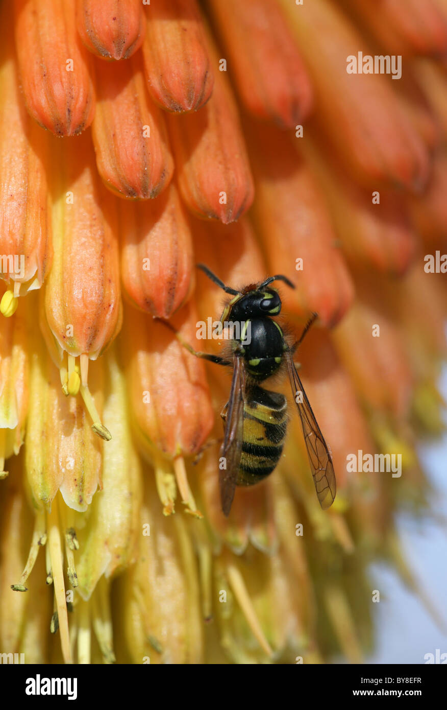 Common wasp Vespula vulgaris Single adult cleaning on red hot poker flower UK - Stock Image