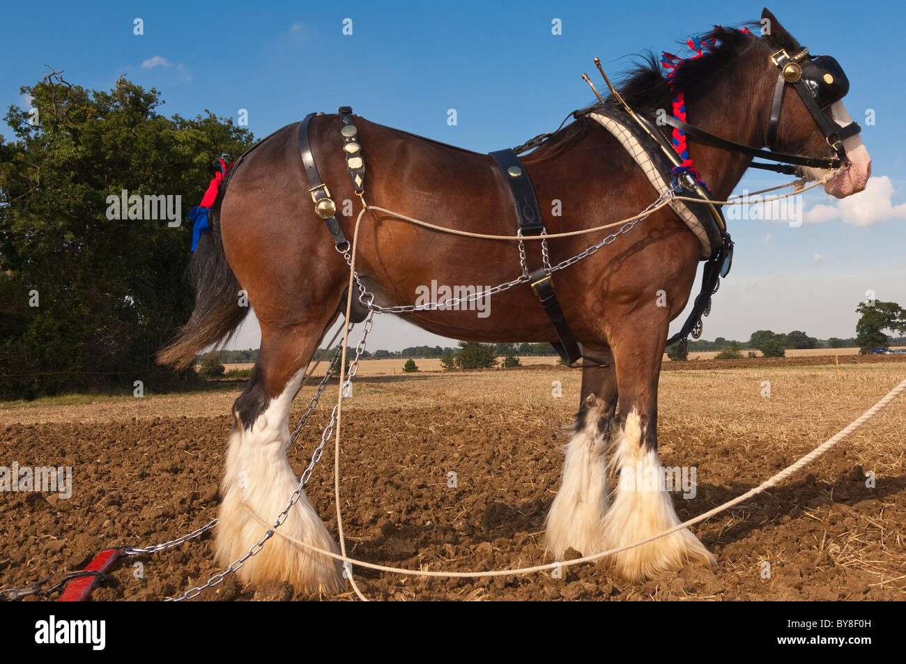 A shire horse ( breed of draught horse ) with plough attatched for ploughing in the Uk - Stock Image