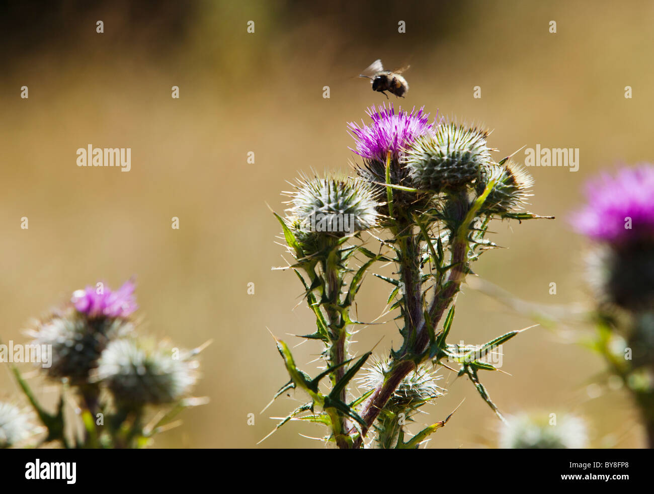 A bumble bee flying above a Canadian Thistle plant. San Juan Island, Washington, USA. - Stock Image