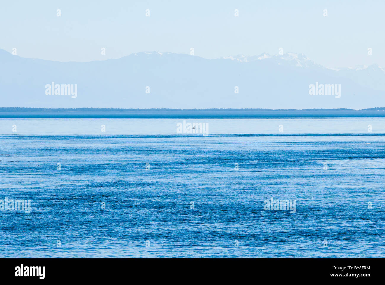 A Orca whales dorsal fin breaks the waters of Haro strait in the distance with the Olympic mountains beyond, San - Stock Image