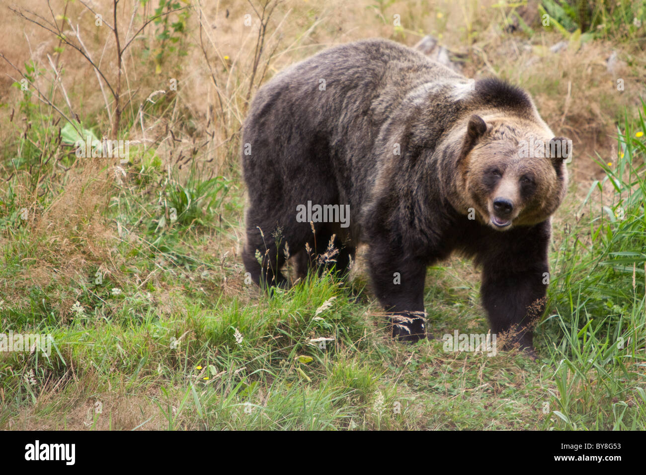 A grizzly bear at the Greater Vancouver Zoo in Aldergrove, BC, Canada. - Stock Image