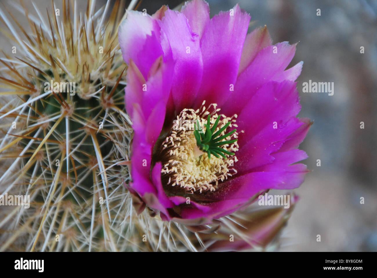 Hedgehog Cactus full bloom in the spring. - Stock Image