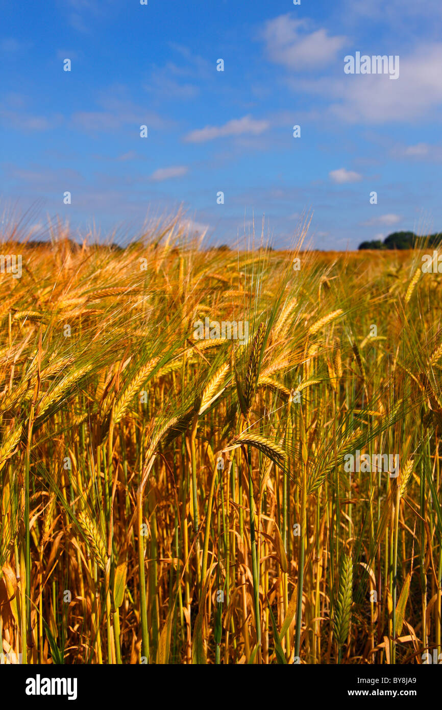 Wheatfield in mid summer, England, UK - Stock Image