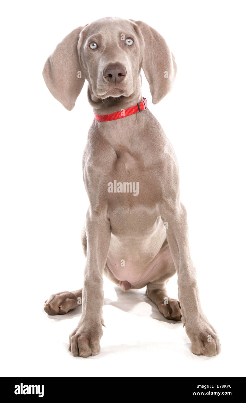 Weimaraner Single female puppy sitting Studio, UK Stock Photo