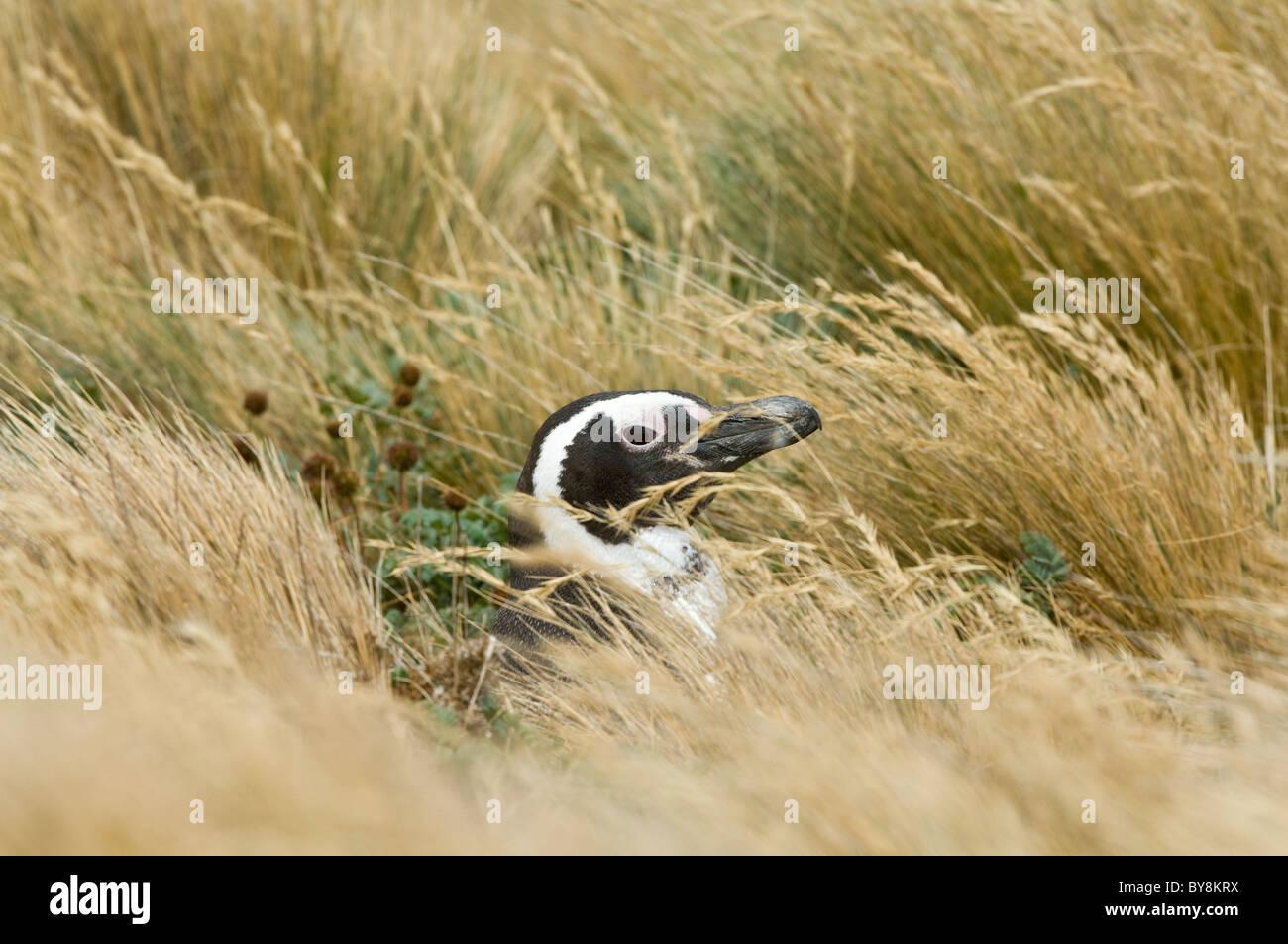 Magellanic penguin (Spheniscus magellanicus) adult, at the burrow entrance amongst grasses Otway Fjord NW of Punta Arenas Chile Stock Photo