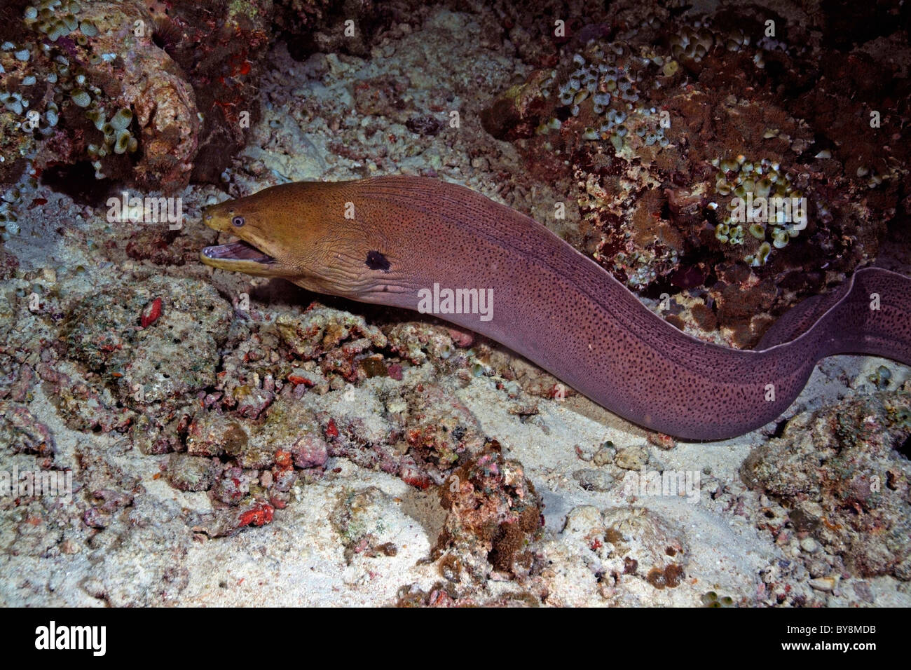 Giant Moray (Gymnothorax javanicus) hunting underwater - Stock Image
