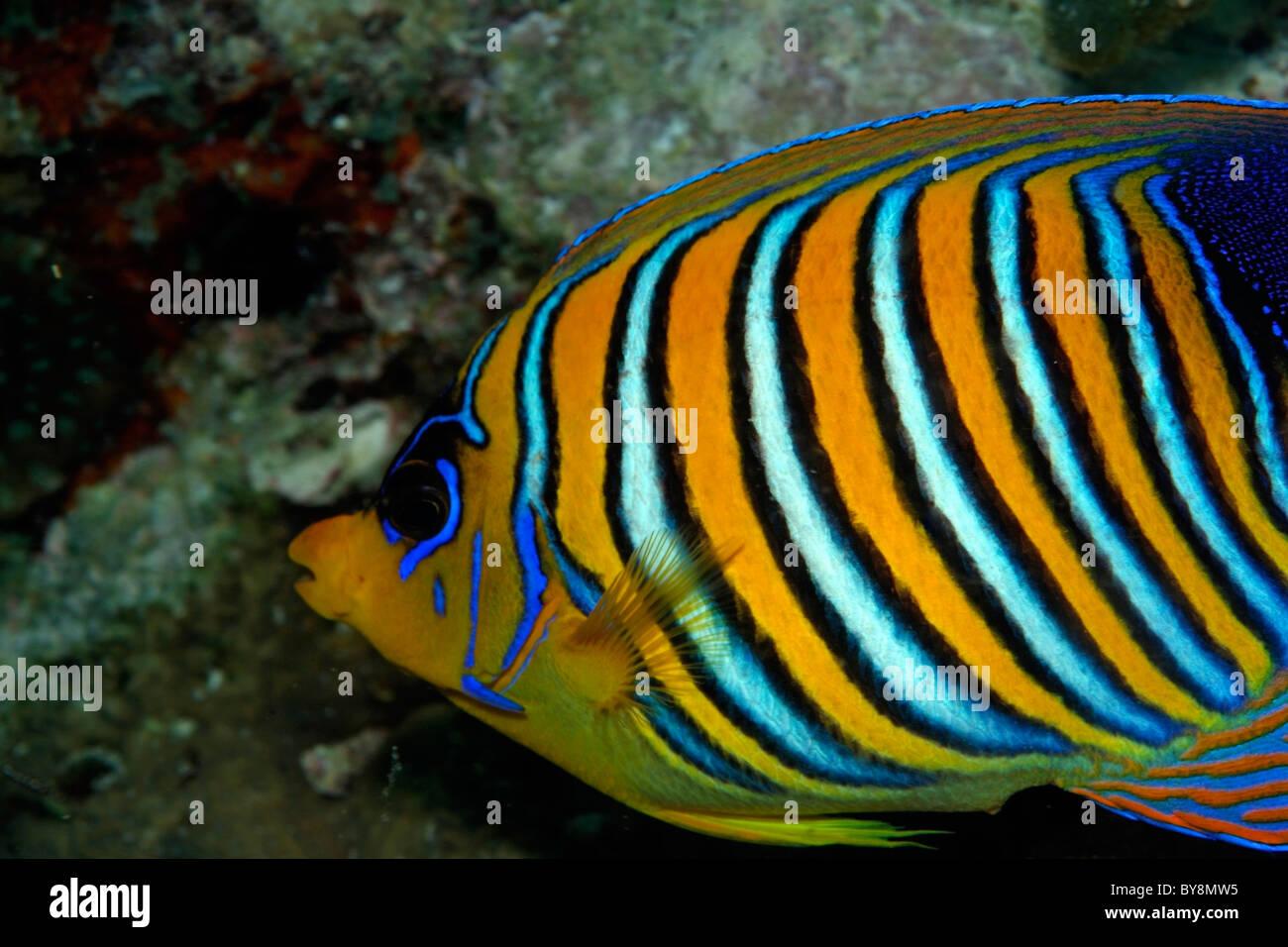 Regal Angelfish - Pygoplites diacanthus - swimming - Stock Image
