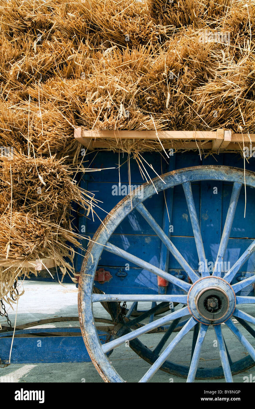 Blue farm cart carrying a full load of straw / hay - Stock Image