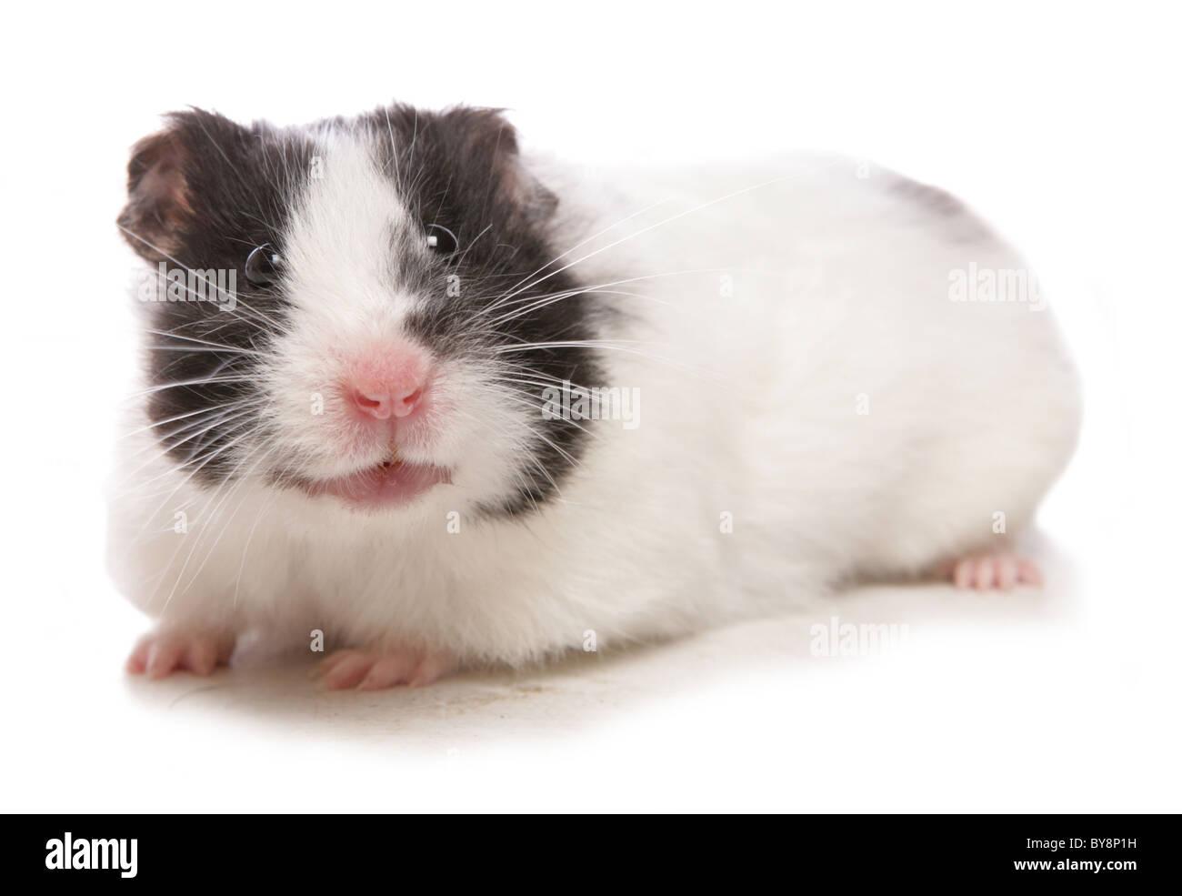 Red tube hamster