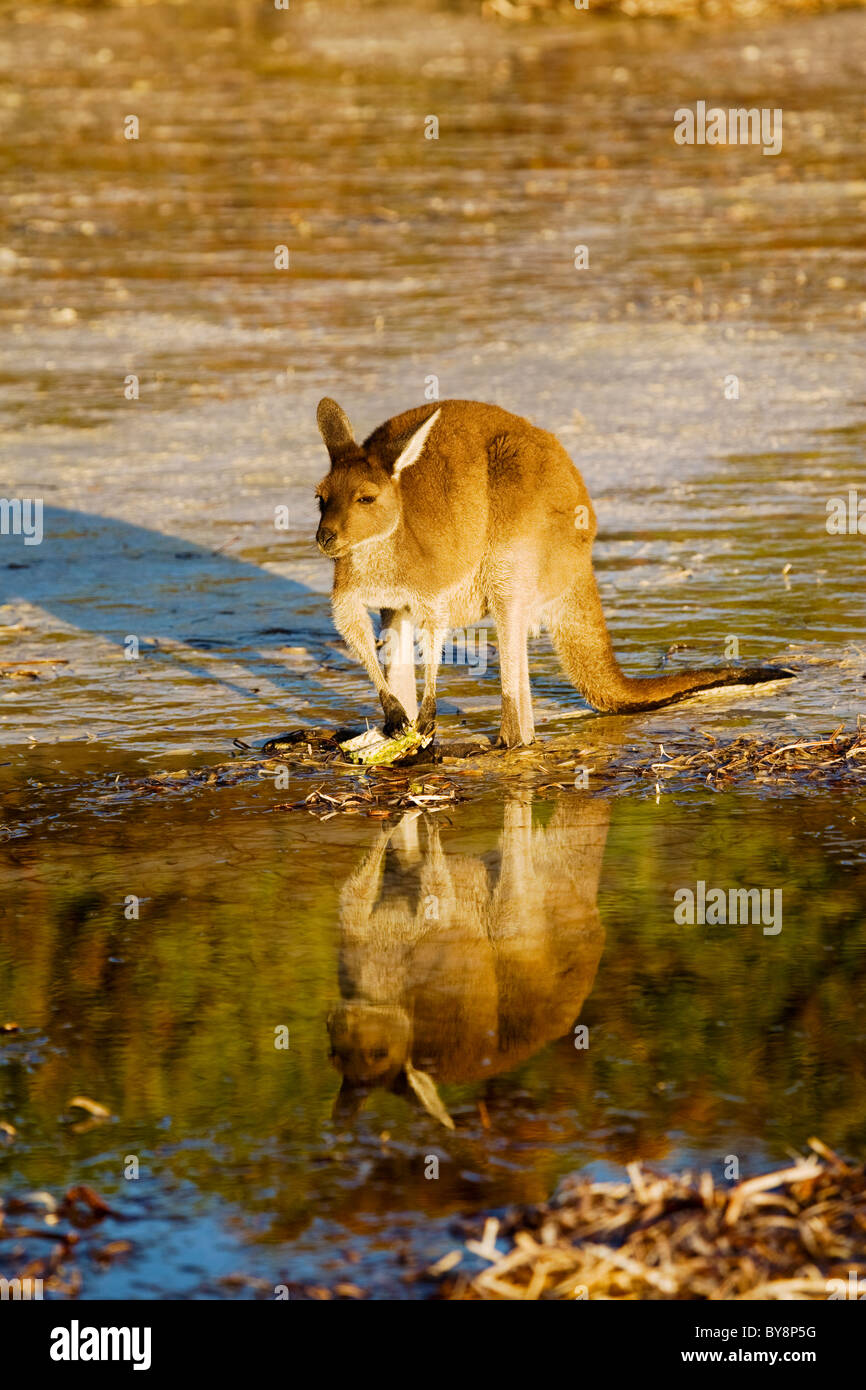 Red Kangaroo feeding on beach at Lucky Bay, Cape La Grand, Western Australia Stock Photo