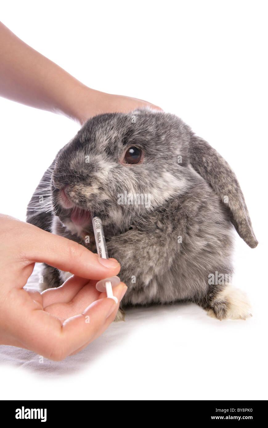 Domestic rabbit Owner giving medicine to single adult Studio, UK - Stock Image
