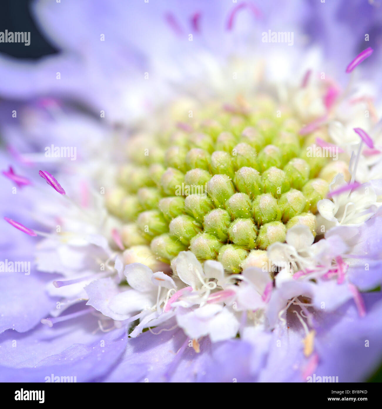Close-up of field scabious flower - Stock Image