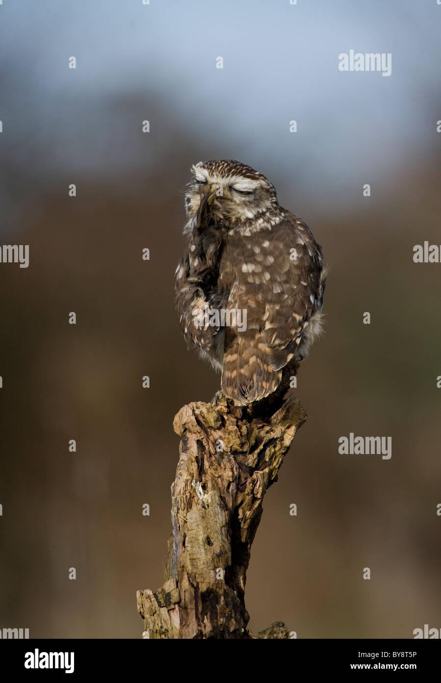 Little Owl Athene noctua Single adult itching Gloucestershire, UK Stock Photo