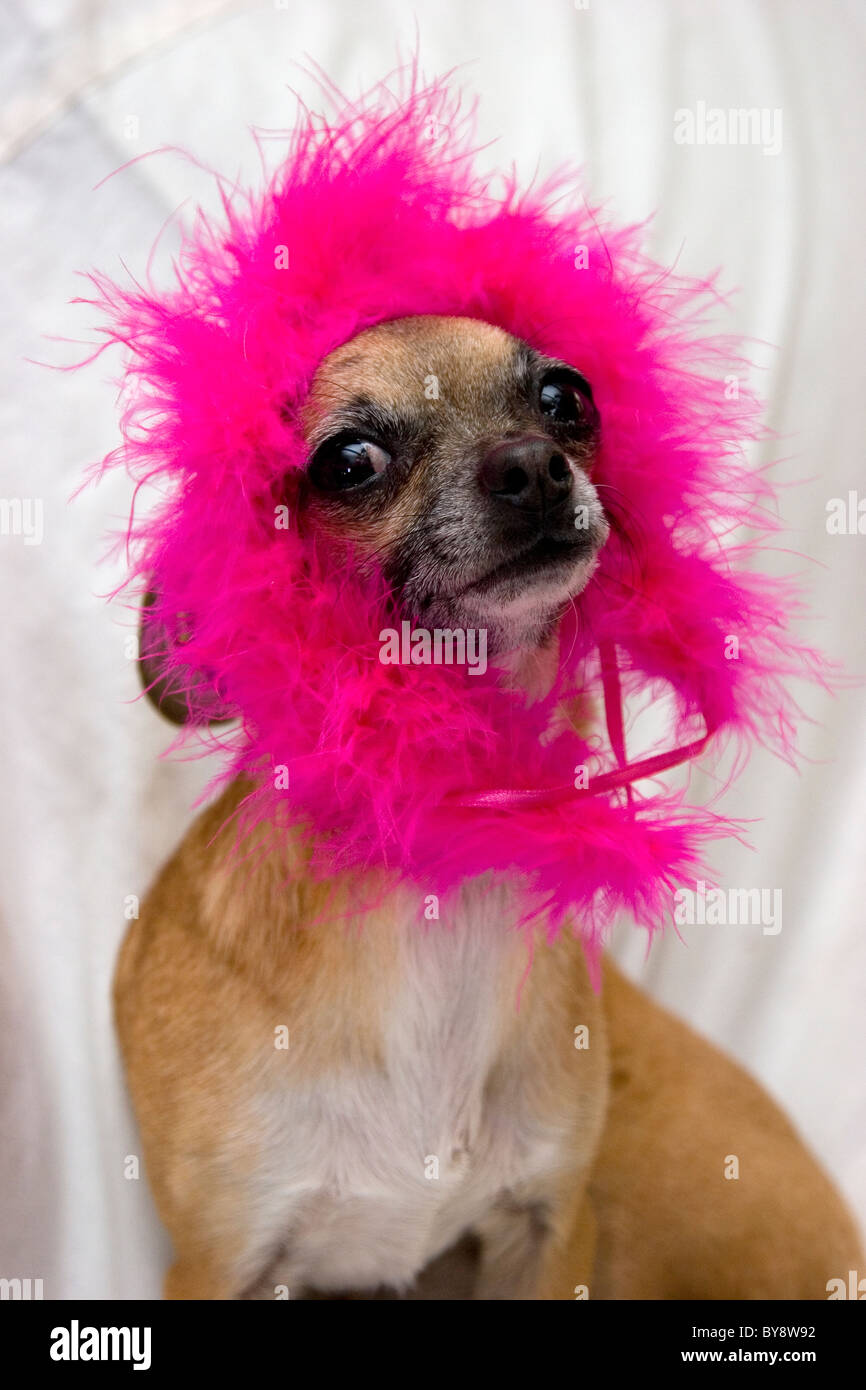 Chihuahua sitting with pink fuzzy headpiece looking silly and cute. funny animal funny dog - Stock Image
