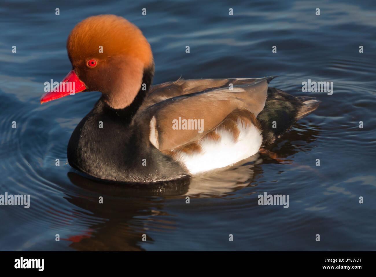 Pochard Duck Red Crested netta rufna Drake Male - Stock Image