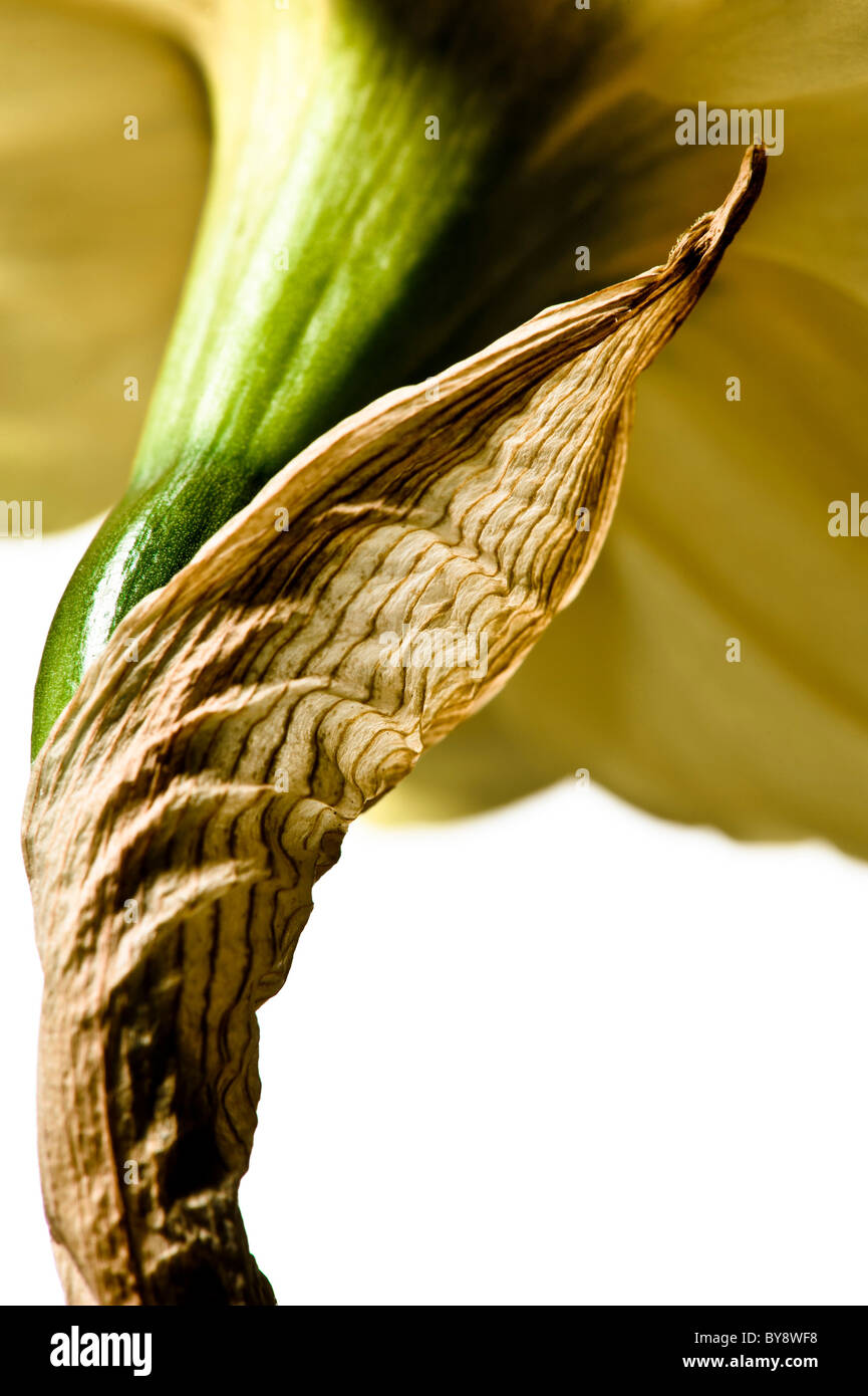 Daffodil on white background - Stock Image