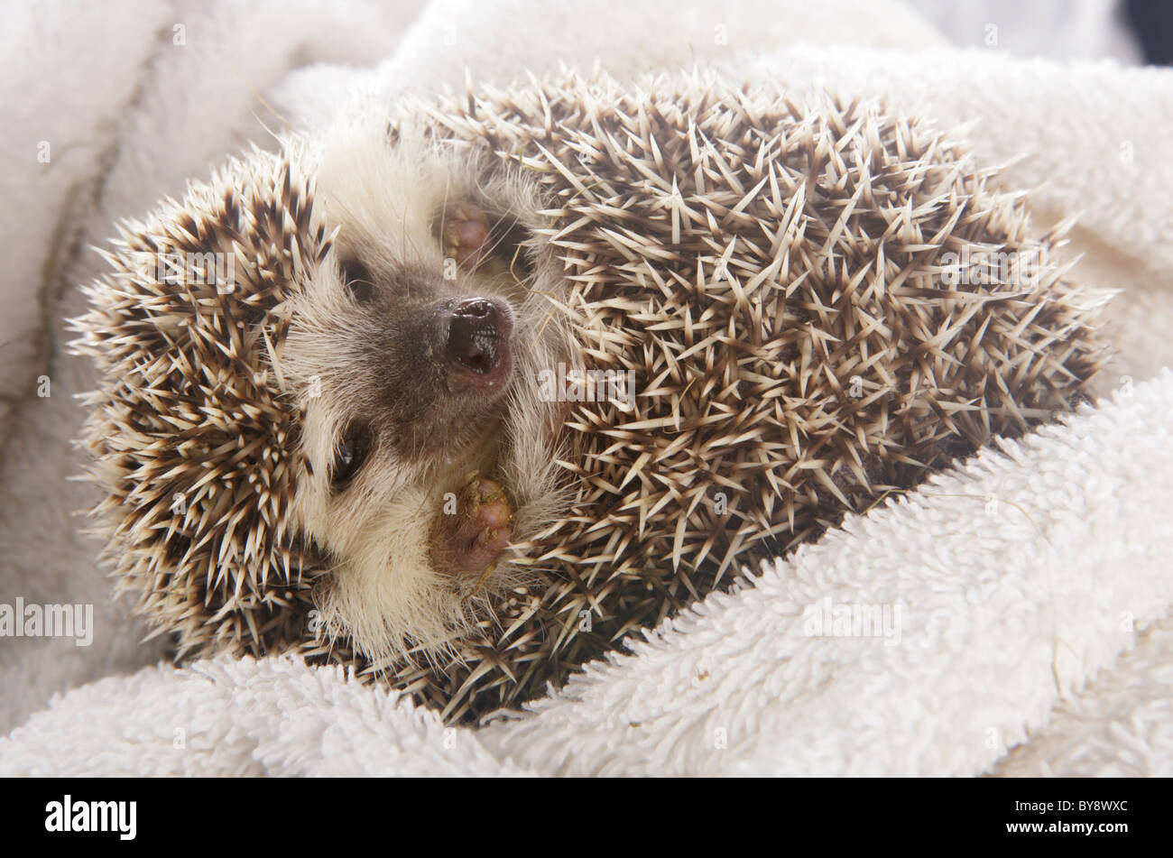 African Pygmy Hedgehog Single adult female Studio, Captive, UK - Stock Image