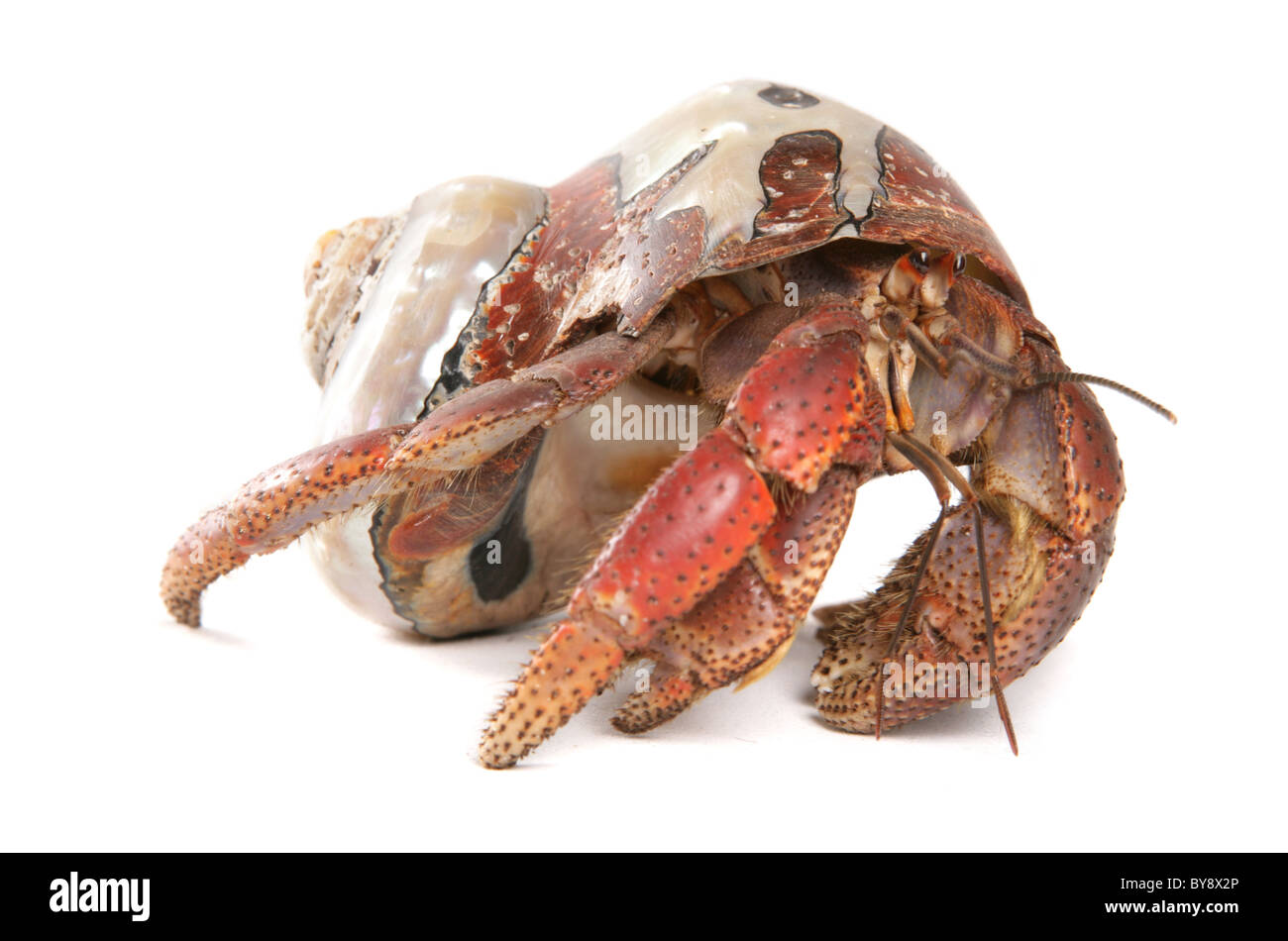 Caribbean hermit crab Coenobita clypeatus Portrait of single adult Studio, Captive, UK - Stock Image
