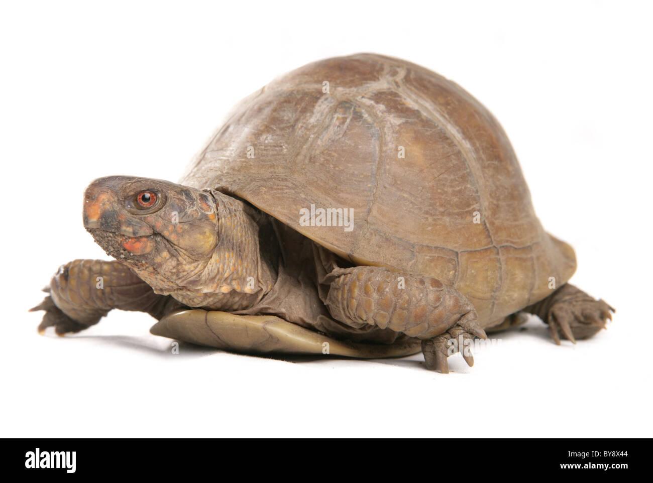 Three-toed box turtle Terrapene carolina triunguis Portrait of single adult female Studio, Captive, UK - Stock Image