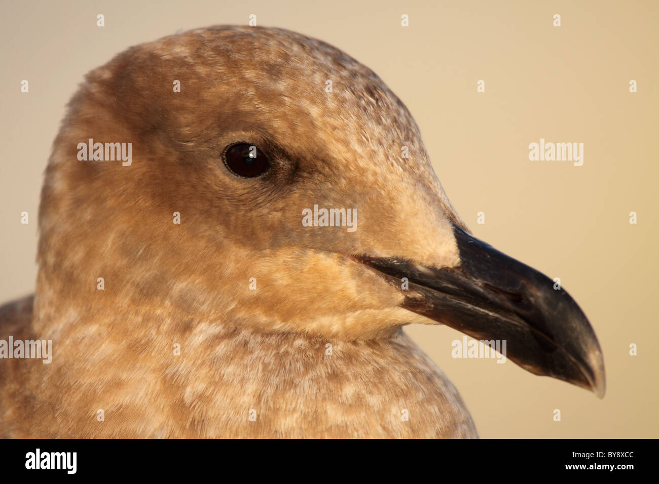 A Western Gull in 1st year plumage. - Stock Image