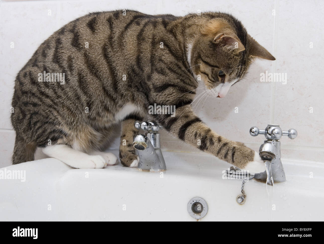 Cat drinking from bathroom sink Single adult female sitting Indoors - Stock Image
