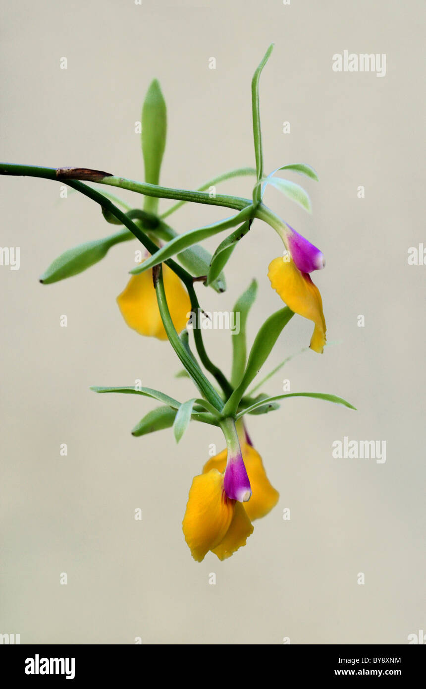 Epicattleya Orchid, 'Rene Marques', Orchidaceae. - Stock Image