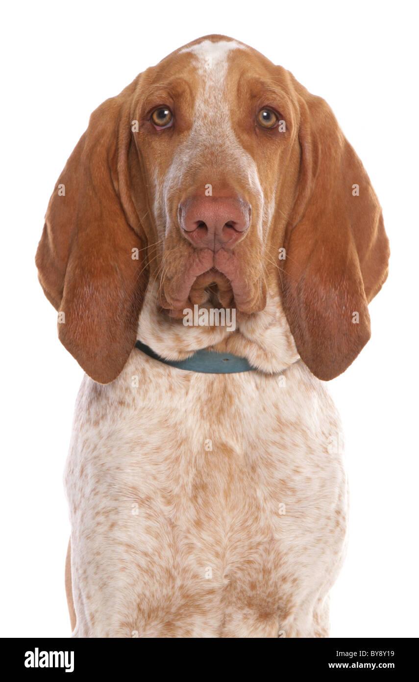 Bracco italiano Single adult male dog Portrait Studio - Stock Image