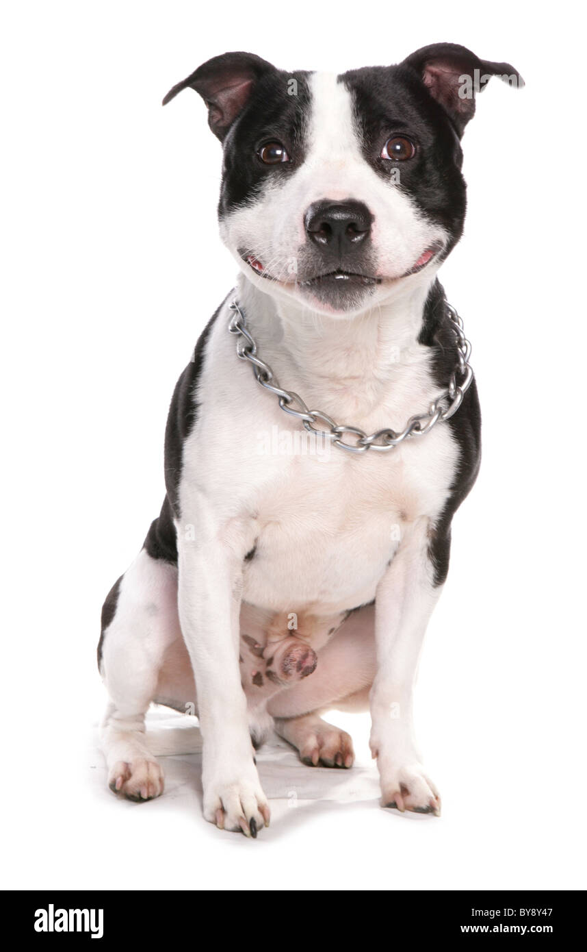 Staffordshire Bull Terrier Dog Single adult male sitting Studio - Stock Image